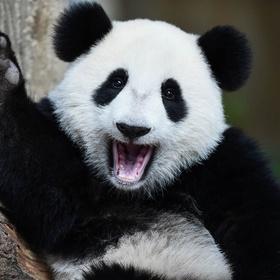 See Panda's in China - Bucket List Ideas