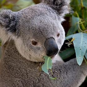 Hug a koala bear - Bucket List Ideas