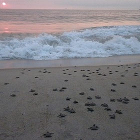 Save Some Baby Turtles and Watch Them Head For the Ocean - Bucket List Ideas