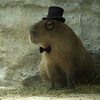 TopHat Capy