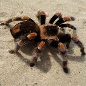 Hold a tarantula - Bucket List Ideas
