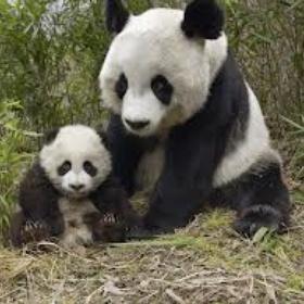 Adopt a panda - Bucket List Ideas