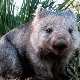 Wombat Pat and Play Experience - Bucket List Ideas