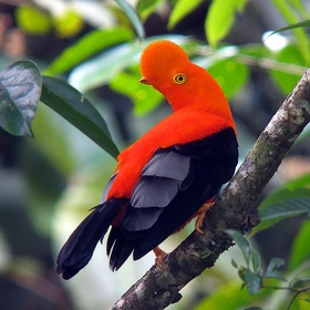 See the Andean cock-of-the-rock, Peru's National Bird in Peru - Bucket List Ideas