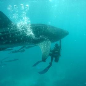 Swim with a Whale Shark - Bucket List Ideas