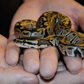 Bet a Ball Python for a Pet - Bucket List Ideas