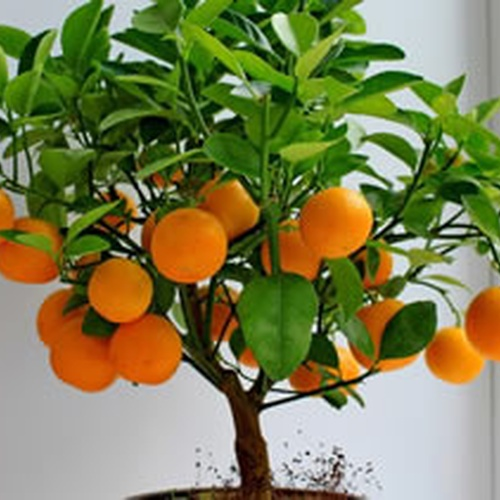 Have an orange tree - Bucket List Ideas
