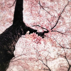 See Cherry Blossoms in Maruyama Park in Kyoto, Japan - Bucket List Ideas