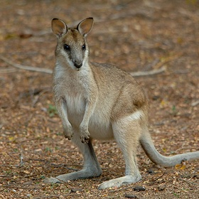 See a Wallaby - Bucket List Ideas