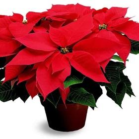Grow my own Christmas Poinsettia - Bucket List Ideas
