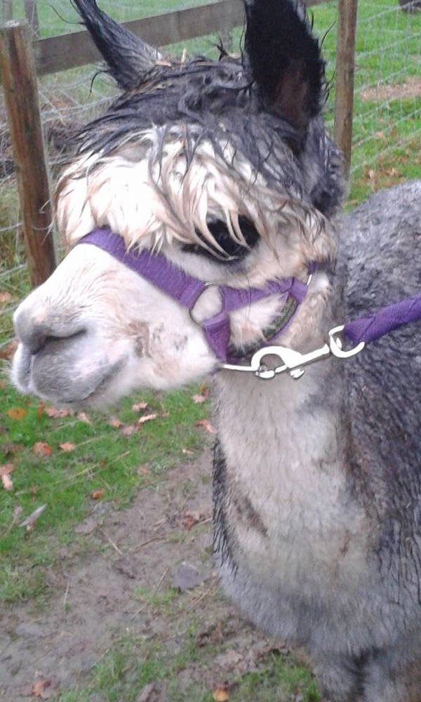 Own/Ride/Pet an Alpaca - Bucket List Ideas