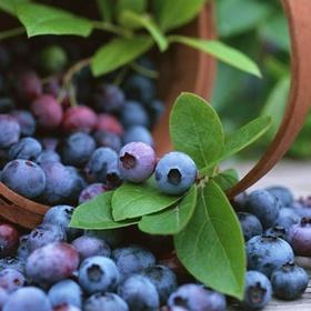 Pick blueberries in Maine - Bucket List Ideas