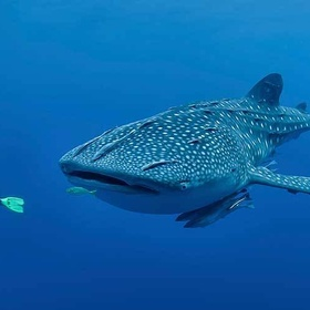 Visit Oslob and swim with whale sharks ~Philippines - Bucket List Ideas