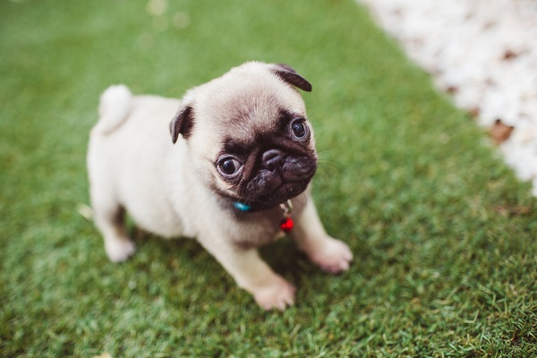 Own a pug - Bucket List Ideas