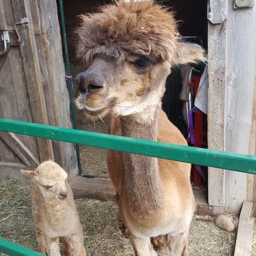 Go to an Alpaca Farm - Bucket List Ideas