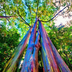 See a rainbow eucalyptus - Bucket List Ideas