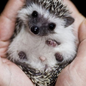 ⚜️Own a Hedgehog - Bucket List Ideas