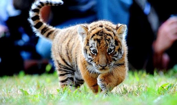 Pet a tiger - Bucket List Ideas