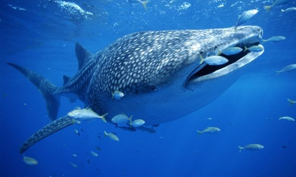Swim with whale sharks - Bucket List Ideas