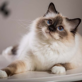 Own a Birman cat - Bucket List Ideas