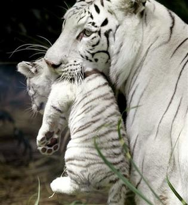 white tiger holding baby -#main