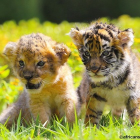 Hold a Baby Lion or Tiger - Bucket List Ideas
