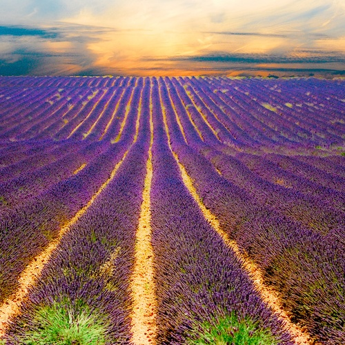 Walk Through the Lavender Fields of Provence France - Bucket List Ideas