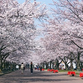 See the Cherry Blossom Festival in Japan - Bucket List Ideas