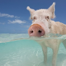Visit Pig Beach ~Bahamas - Bucket List Ideas
