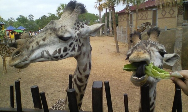 Feed a giraffe - Bucket List Ideas