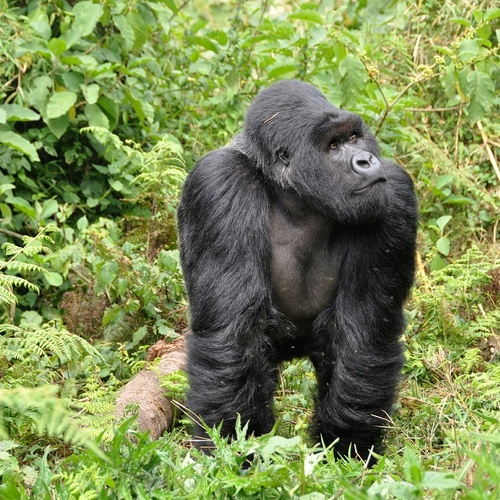 Spot a Mountain Gorilla in the Wild - Bucket List Ideas