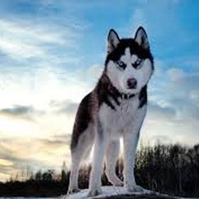 Own a husky dog - Bucket List Ideas