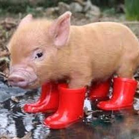 Get a Micro Pig - Bucket List Ideas