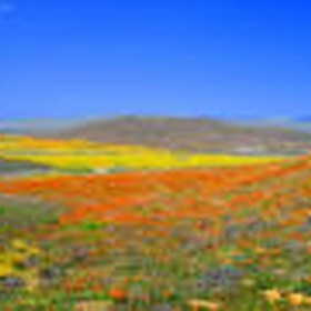 See the Poppies Bloom in Antelope Valley - Bucket List Ideas