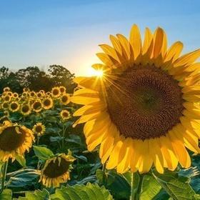 Go to a sunflower festival 🌻 - Bucket List Ideas