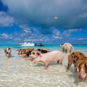 Visit Pig Beach in the Bahamas - Bucket List Ideas