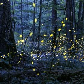 See the  Synchronous Fireflies - Bucket List Ideas