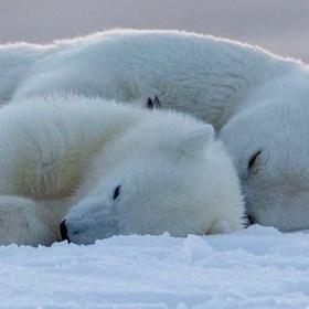 See polar bears in the wild - Bucket List Ideas