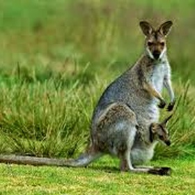 Feed a kangaroo - Bucket List Ideas