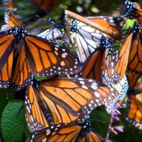 See monarch butterflies migrate - Bucket List Ideas