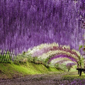 Walk through the Wisteria Flower Tunnel in Japan - Bucket List Ideas
