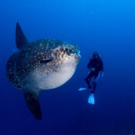 Spot a Sunfish during a dive | Bali | Indonesia - Bucket List Ideas