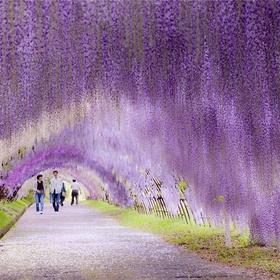 Visit the Wisteria flower tunnel, Japan - Bucket List Ideas