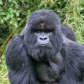 Spot a Mountain Gorilla in the Wild - Bucket List Ideas