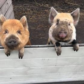 Get two pet miniature pigs - Bucket List Ideas