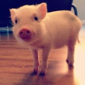 ⚜️Own a Teacup Pig - Bucket List Ideas