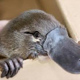See a Platypus - Bucket List Ideas