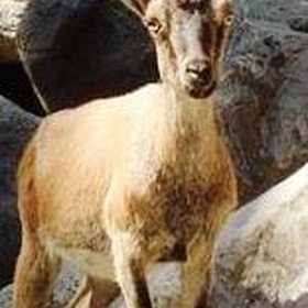 Catch A Glimpse of A Kri-Kri Goat - Bucket List Ideas