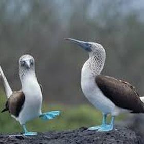 Watch a blue-footed booby dance - Bucket List Ideas