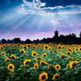 Being in a field of sunflowers - Bucket List Ideas